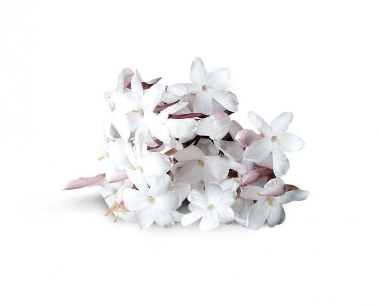 Jasmin De Grasse 770x621 - Roja Dove - Și lumea parfumurilor nu a mai fost la fel
