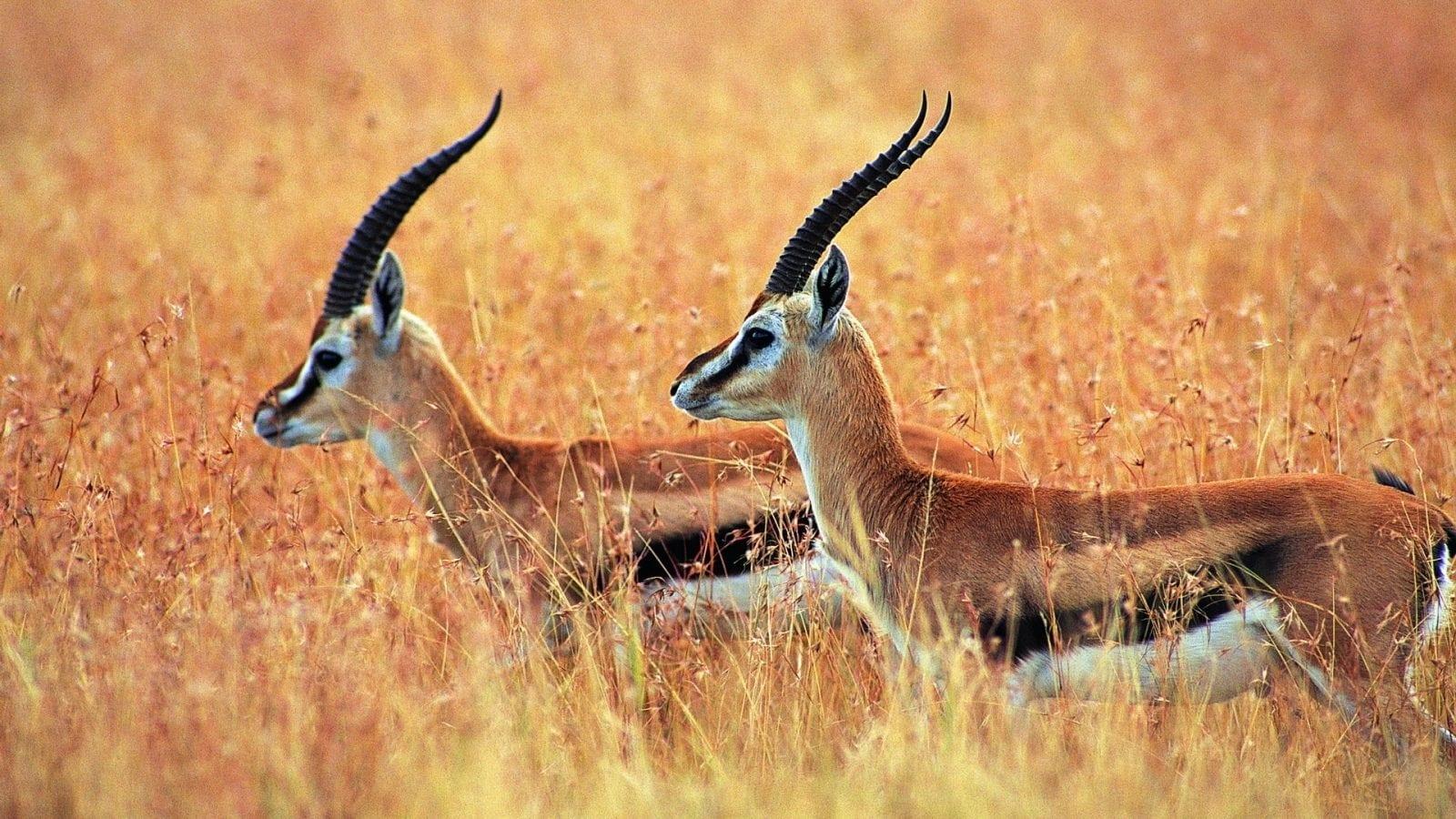 tibetan antelope 1920x1080 - Comorile din Kashmir