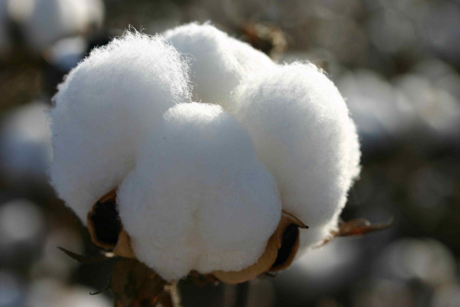 peruvian fashions cotton - Bumbacul egiptean - Celălalt tezaur al Văii Nilului