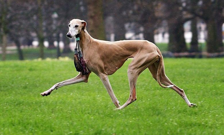9 rase de câini statement