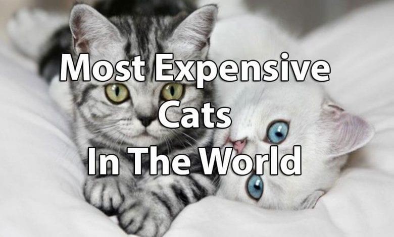Cele mai scumpe rase de pisici din lume